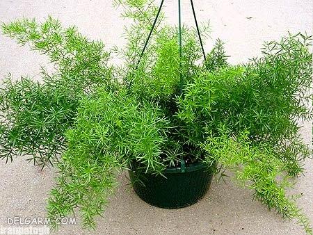 مراقبت از گیاه شویدی یا مارچوبه زینتی گل آپارتمانی بسیار زیبا
