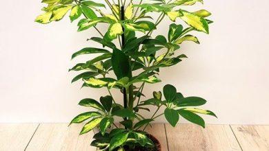 تصویر از پرورش گل شفلرا گیاه آپارتمانی گیاهی همیشه سبز