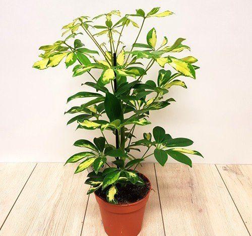 پرورش گل شفلرا گیاه آپارتمانی گیاهی همیشه سبز
