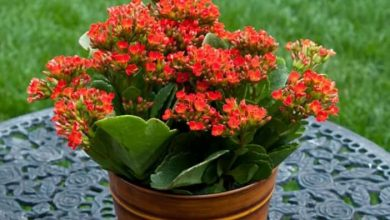 تصویر از نگهداری از گل کالانکوئه گیاهی گلدار و زیبا و خانگی