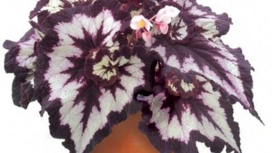 تصویر از نگهداری از گیاه بگونیا رکس گل خانگی بسیار زیبا و متنوع در رنگ
