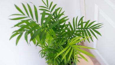 تصویر از مراقبت از نخل شامادورا نگهداری از گیاهان خانگی