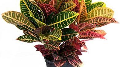 تصویر از نگهداری از گیاه کروتون رنگین درختچه ای همیشه سبز خانگی