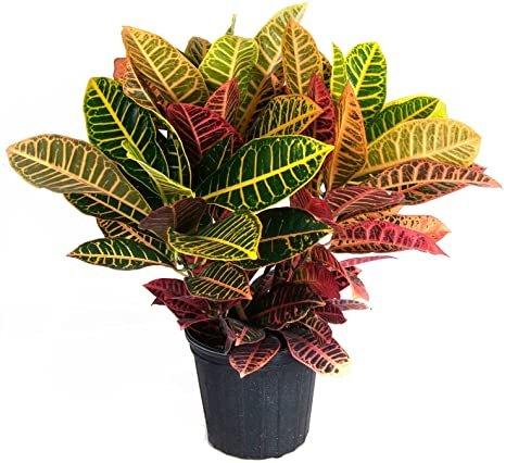 نگهداری از گیاه کروتون رنگین درختچه ای همیشه سبز خانگی