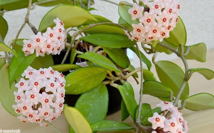 مراقبت از گل هویا کارنوزا گلی زیبا معروف به گیاه مومی