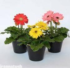 تصویر از مراقبت از گل ژربرا در گلدان و پرورش این گیاه زیبا و گلدار