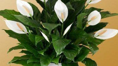 تصویر از 5 گل آپارتمانی مناسب برای رشد فضاهای کوچک و نگهداری آسان