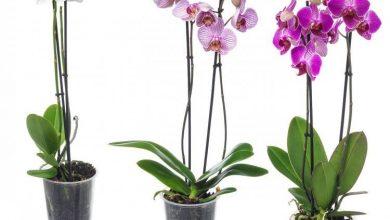 تصویر از مراقبت از ارکیده شاپرکی و پرورش گل ارکیده زیبا در خانه