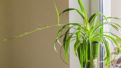 تصویر از پرورش گل گندمی یا گیاهان عنکبوت و مراقبت از آنها