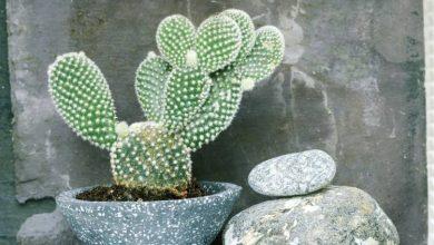 تصویر از نگهداری کاکتوس گوش خرگوشی گیاهان کاکتوس خانگی