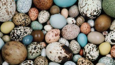 تصویر از تخم پرندگان و خواص آنها از تخم مرغ تا تخم کبک
