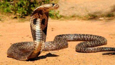تصویر از کشنده ترین حیوانات جهان – لیست 15 حیوان مرگبار و خطرناک دنیا